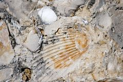 Seashell Fossil royalty free stock photo
