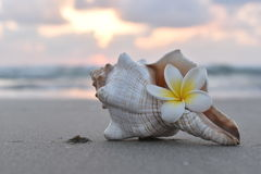 SEASHELL AND FRANGIPANI FLOWER. Beautiful seashell and frangipani flower on the beach at sunset stock photo