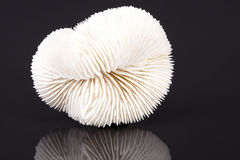 Seashell of fungia coral  on black background Stock Photos