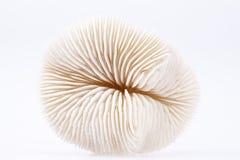 Seashell of Fungia  isolated on white background, close up Stock Photo