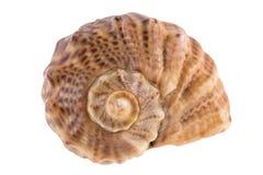 Seashell getrennt auf Weiß Stockfoto