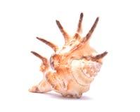 Seashell getrennt auf weißem Hintergrund Lizenzfreie Stockbilder