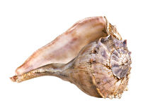 Seashell grande Imagem de Stock
