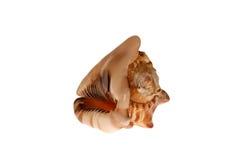 Seashell grande aislado Fotos de archivo libres de regalías