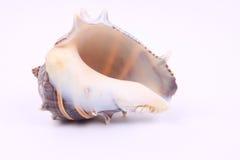 Seashell hermoso Foto de archivo