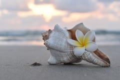 SEASHELL I FRANGIPANI kwiat Zdjęcie Stock