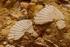 Seashell im Stein stockfotos