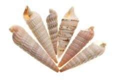 Seashell isolado no branco foto de stock