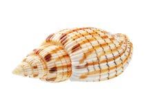 Seashell isolado no fundo branco Foto de Stock Royalty Free