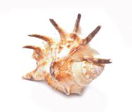 Seashell isolado no fundo branco Fotografia de Stock Royalty Free