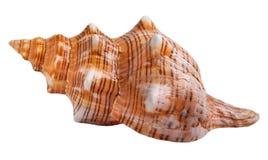 Seashell isolated Stock Photo