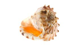 Seashell Isolated Stock Photography