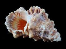 Seashell. Isolated on black backgorund Stock Photo
