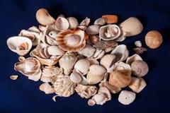 Seashell isolated on the blue background Royalty Free Stock Image