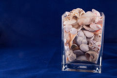 Seashell isolated on the blue background Royalty Free Stock Photo
