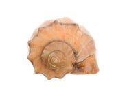 Seashell isolated-frontal stock photo