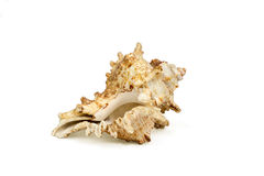 Seashell isolated Stock Photos