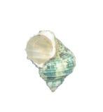 Seashell isolated on white Stock Images