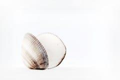 Seashell isolated on white background Royalty Free Stock Image