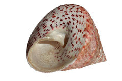 Seashell isolated on white background Royalty Free Stock Images