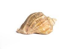 Seashell isolato Fotografia Stock