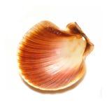 Seashell isolato fotografia stock libera da diritti