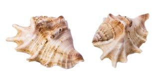 Seashell isolato su bianco immagini stock libere da diritti