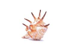 Seashell isolato su priorità bassa bianca Immagine Stock