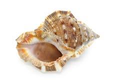 Seashell isolato su priorità bassa bianca fotografie stock