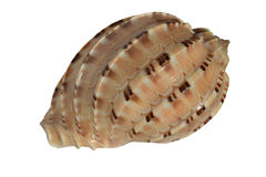 Seashell isolato su priorità bassa bianca Immagini Stock Libere da Diritti