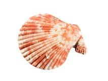 Seashell isolato su priorità bassa bianca Fotografia Stock Libera da Diritti