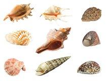 Seashell isolato su priorità bassa bianca Immagine Stock Libera da Diritti