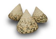 Seashell isolato su priorit? bassa bianca fotografia stock libera da diritti