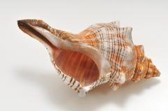 Seashell isolato su una priorità bassa bianca Fotografia Stock Libera da Diritti