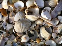 Seashell Jumble I (Color). A jumble of seashells washed ashore. Color. Sepia-toned also available stock image