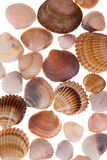 Seashell laing sur le fond blanc photos stock