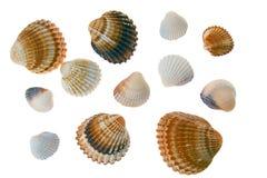 Seashell laing on white background Royalty Free Stock Photography