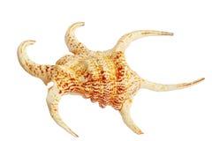 Seashell Lambis chiragra large royalty free stock photography
