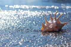 Seashell lambis truncata na gont plaży Zdjęcie Stock