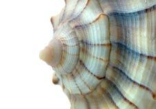 Seashell macro contra blanco Imagen de archivo libre de regalías