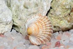 Seashell, Makro- Obrazy Stock