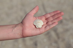Seashell in male hand Stock Image