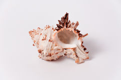Seashell. Marine cockleshell on white background Royalty Free Stock Images