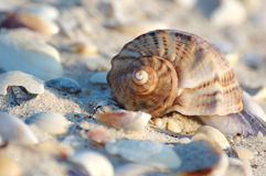 Seashell of marine mollusc rapana venosa Stock Photography