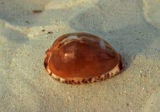 Seashell Mauritia maculifera Fotografia Royalty Free
