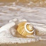 Seashell mit Seeschaumgummi lizenzfreies stockbild