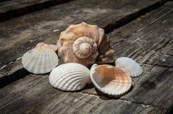 Seashell of mollusk Royalty Free Stock Photography