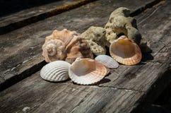 Seashell of mollusk Rapana venosa Royalty Free Stock Image