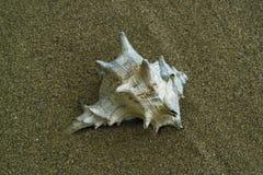 Seashell na areia Imagem de Stock