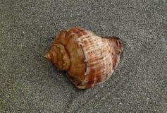 Seashell na areia Imagens de Stock